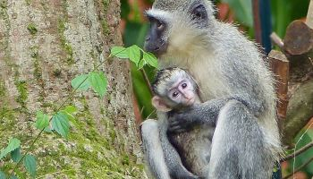 vervet monkey mom snatches a second baby from its mother weekly  monkey mom snatches a second baby a photo essay on how the story unfolds in