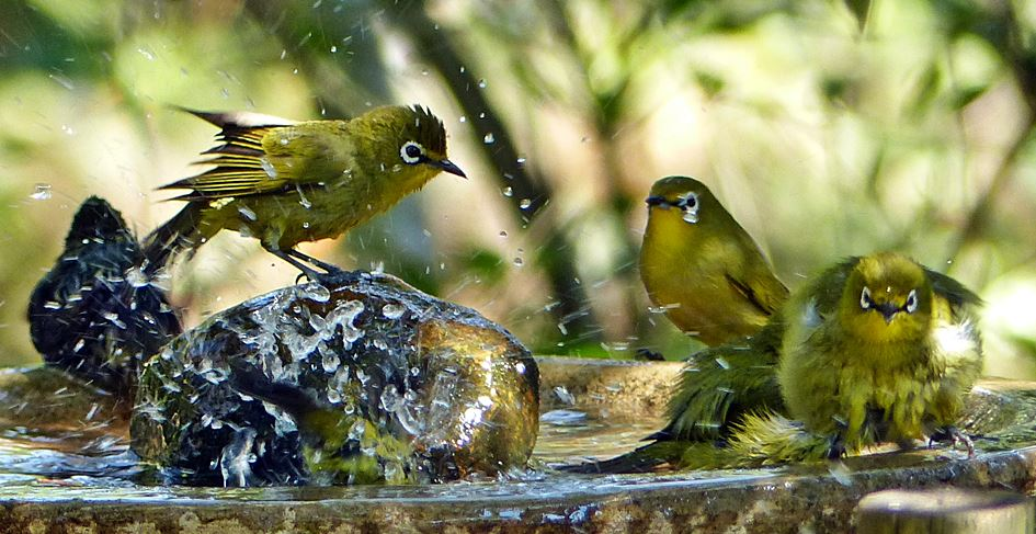 Cape-White-eyes-bathing