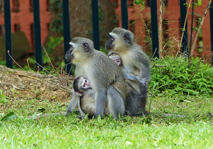 Two vervet monkeys each with baby