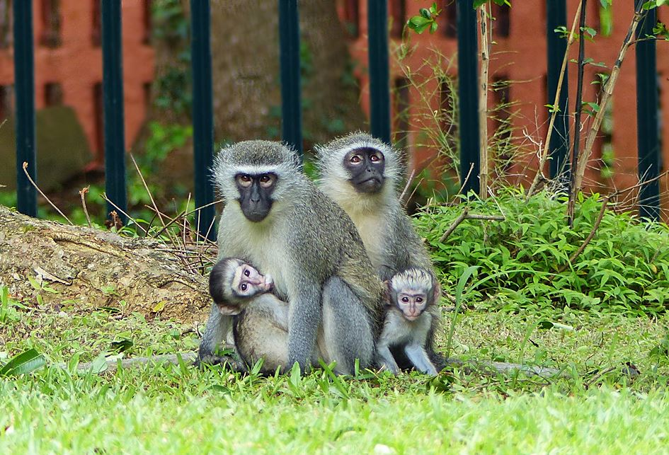 Vervet monkeys side-by-side with babies in suburban garden