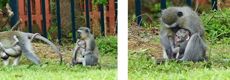 Vervet monkeys with babies in garden South Africa