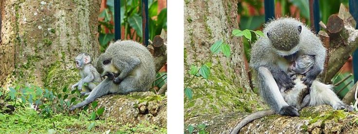 Vervet monkey grooming self and baby