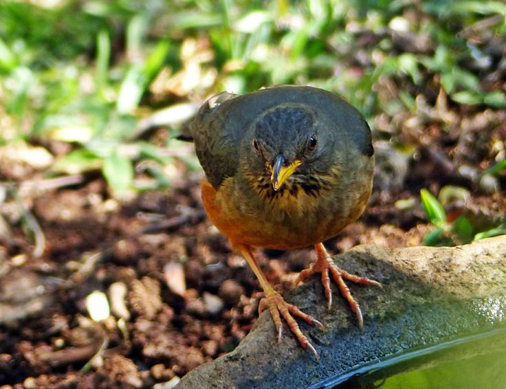 Olive-thrush-bird-bath-indigenous-garden