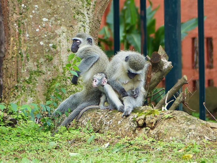 Vervet monkeys in suburban garden