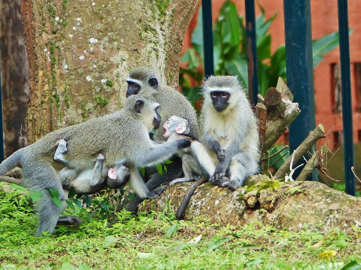 Vervet monkey snatches another monkey's baby