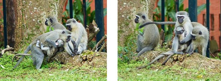 Vervet monkey mother takes second baby