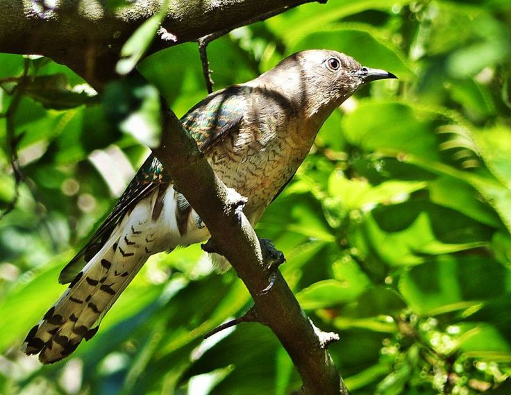 African-Emerald-Cuckoo-female