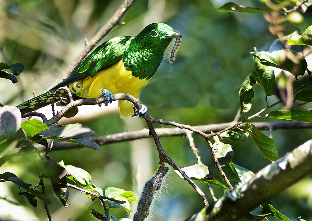 Emerald cuckoo eating caterpillar