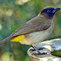 Favourite garden birds to cherish: Dark-capped Bulbul (aka Toppie)
