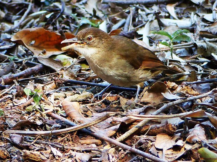 Terrestrial brownbul feeding in indigenous garden