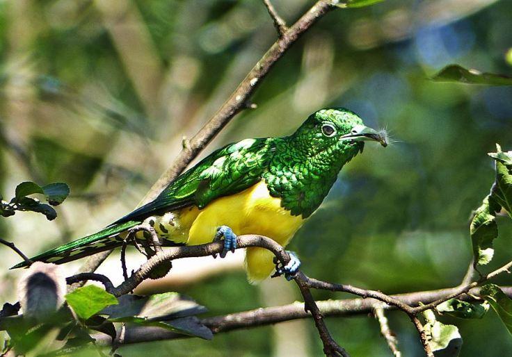African-Emerald-Cuckoo-garden