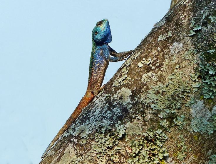 Southern-tree-agama