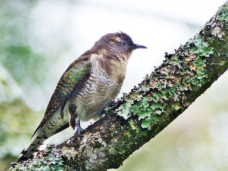 Klaass-Cuckoo-female
