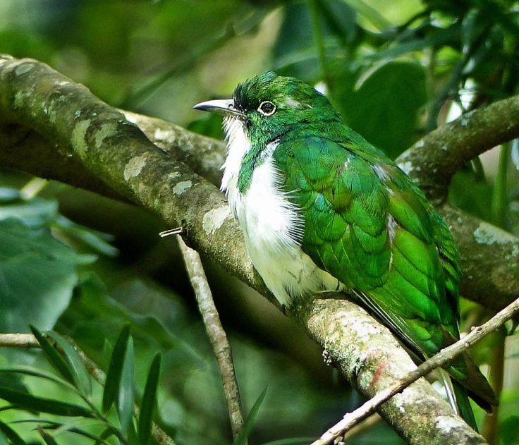 Klaas's-Cuckoo-male