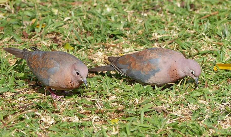 Pair of Laughing Doves foraging