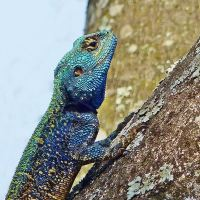 Agamas in the garden