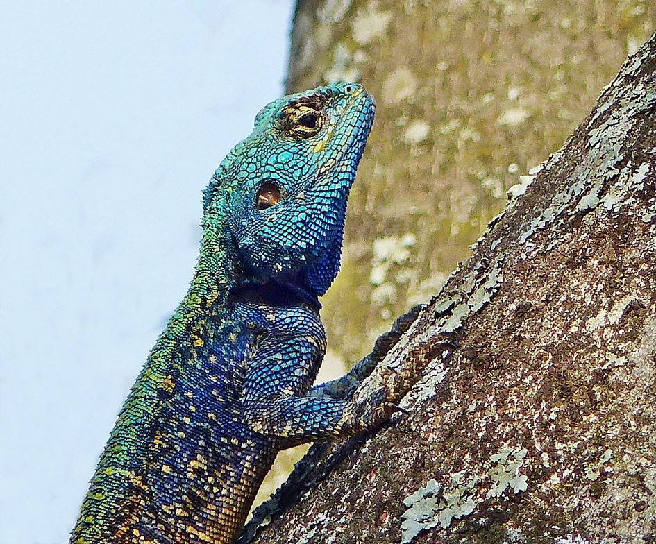 Blue-headed-lizard-tree
