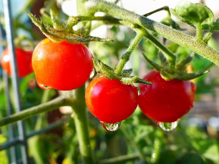 Vegetable garden cherry tomatoes