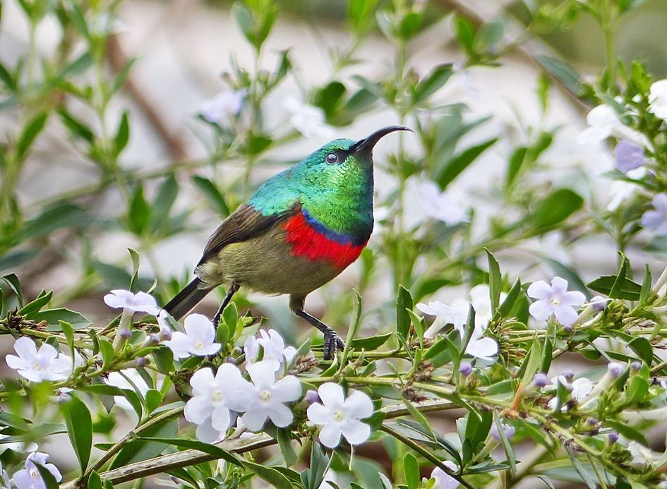 Southern Double-collared Sunbird in garden