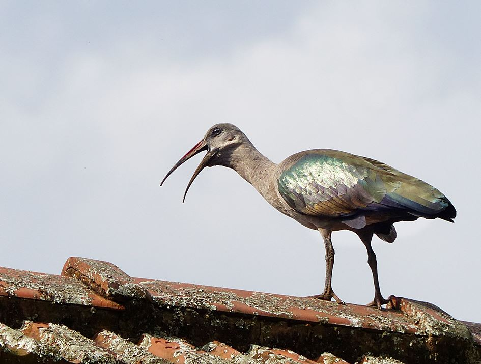 Hadeda ibis calling from rooftop
