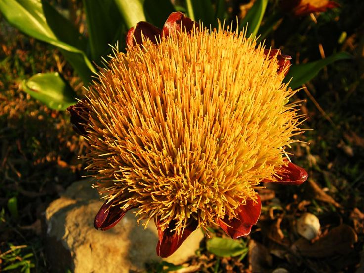 Paintbrush-Lily-in-wildlife-garden