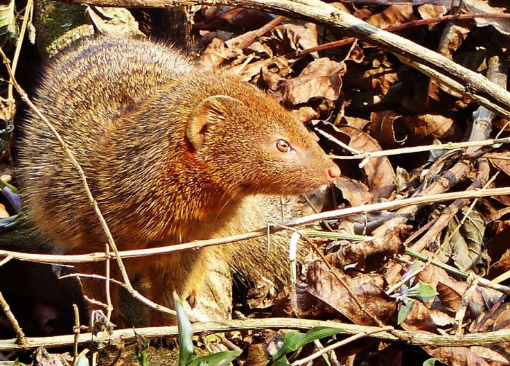 Slender Mongoose in profile in suburban garden