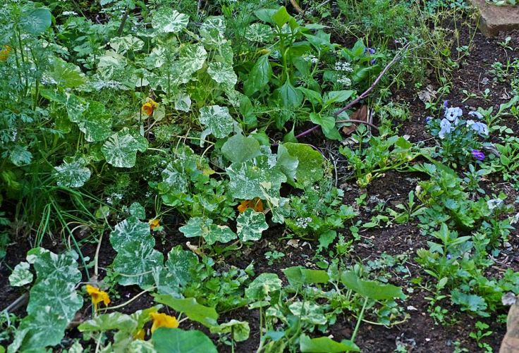 Vegetable patch with flowers