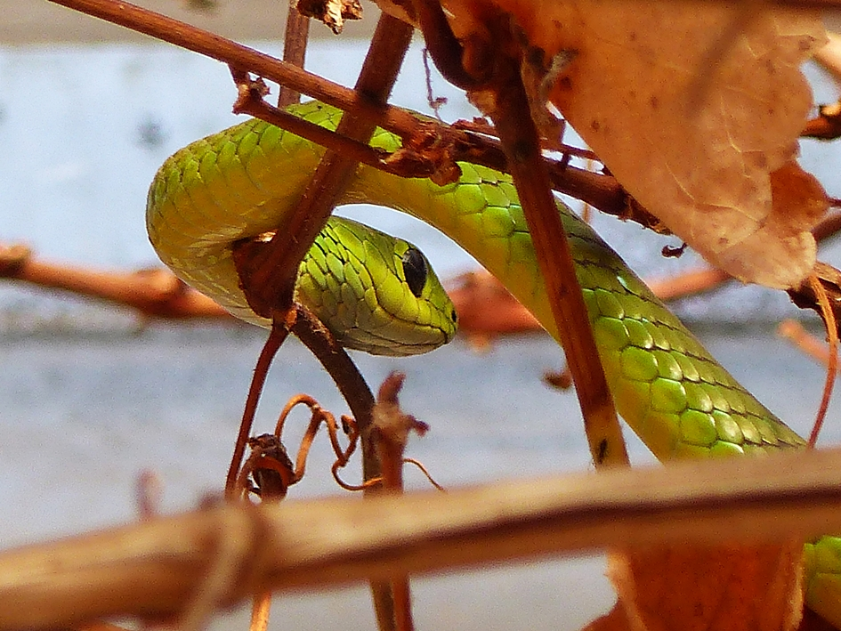 Natal Green Snake in suburban garden