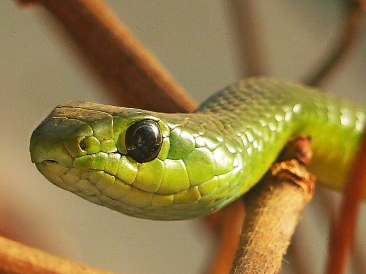 Natal Green Snake South Africa