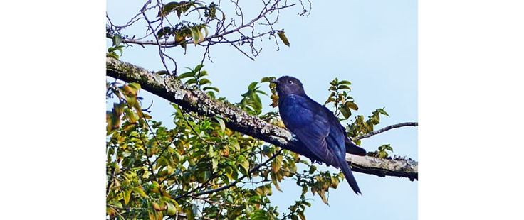 Black cuckoo in suburban garden
