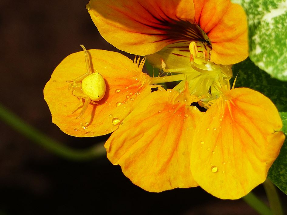 Yellow flower crab spider on nasturtium