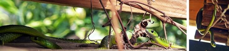 natal-green-snakes-pair