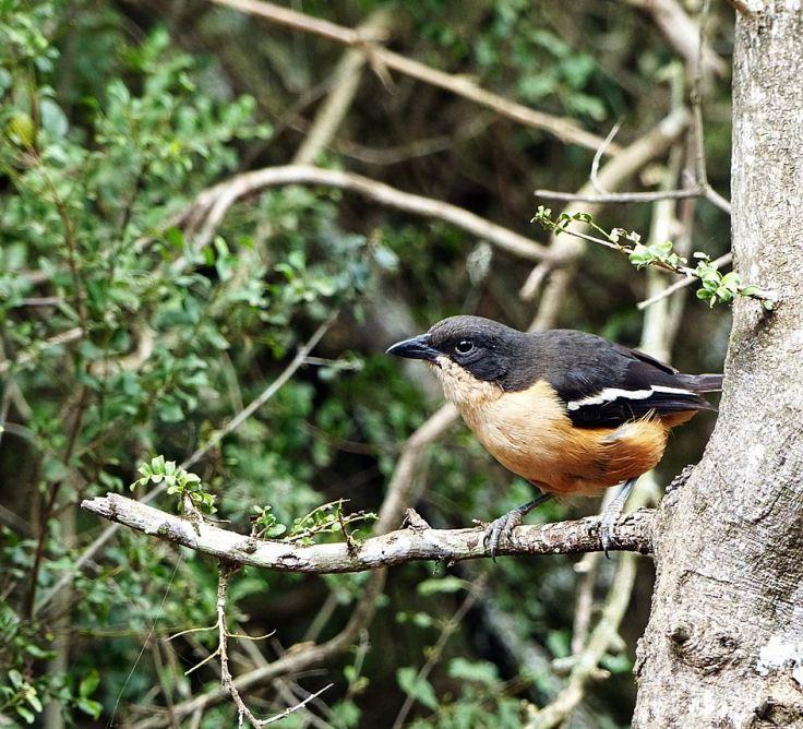 Female Southern Boubou