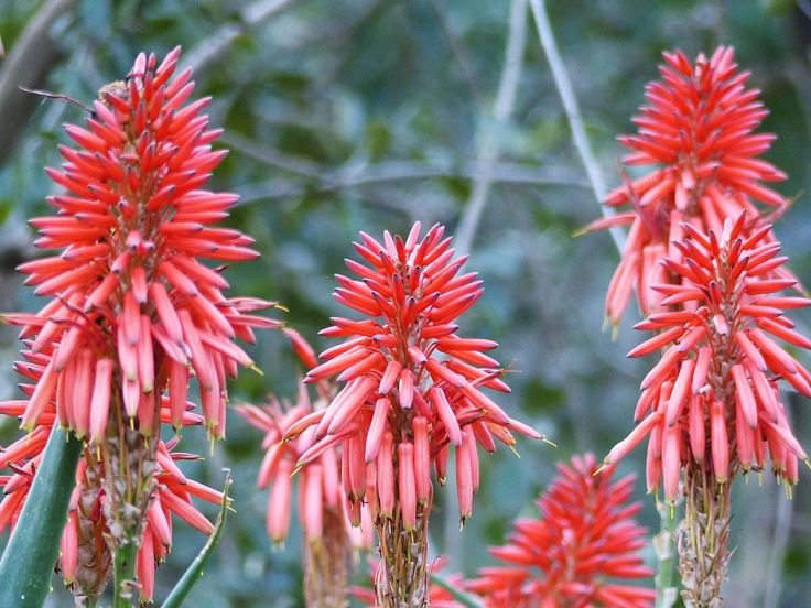 Flowers of the Krantz Aloe in a wildlife garden