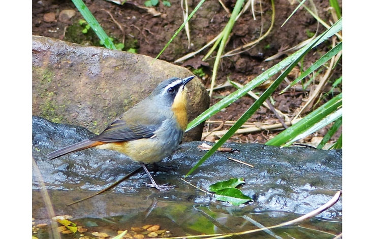 Cape Robin-Chat in garden pond