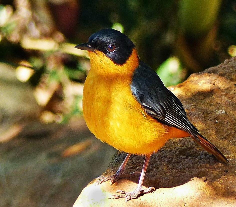 Chorister Robin-Chat in suburban garden