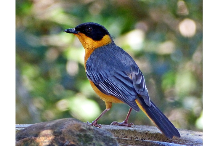 Chorister Robin Chat in South African garden