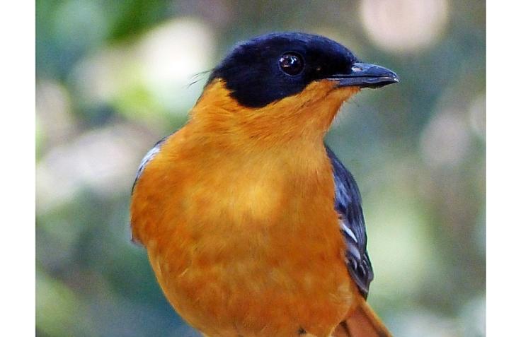 chorister-robin-chat-3