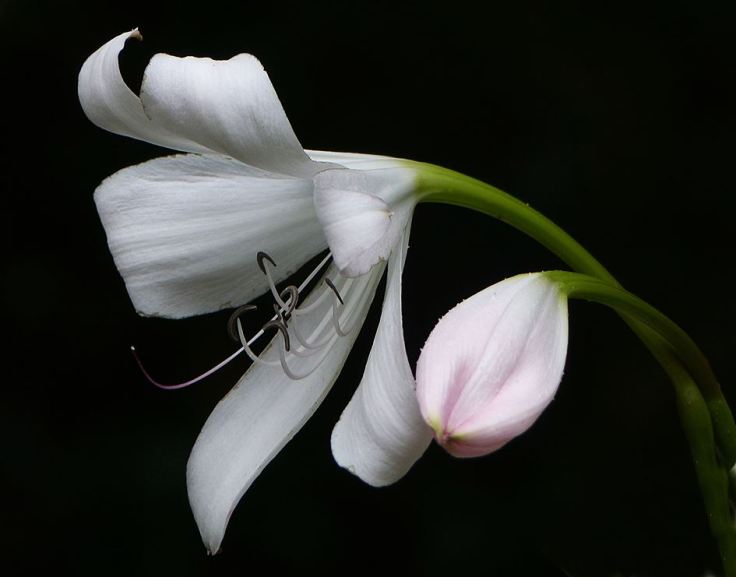 Decorative flower and bud of a crinum lily
