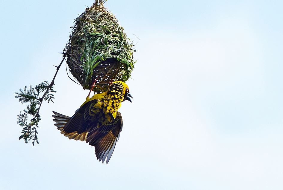 Masked weaver displaying on nest