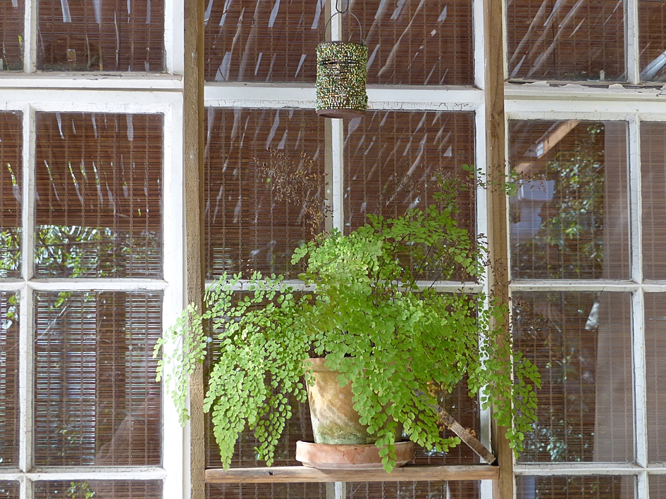 Maidenhair fern on the veranda