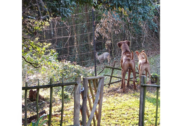 dogs-watching-grey-duiker-wildlife-garden-kzn