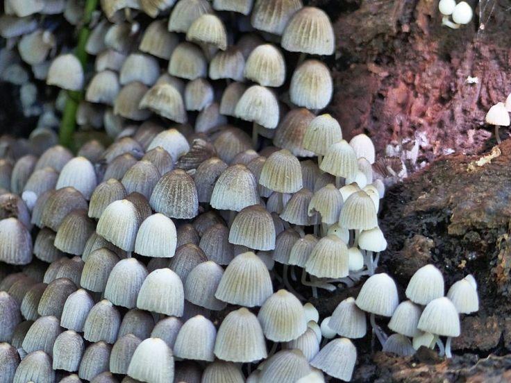 fairies-bonnets-mushrooms-close-up
