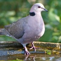 Redeyed Doves, Turtle Doves, monogamy and sacrifice