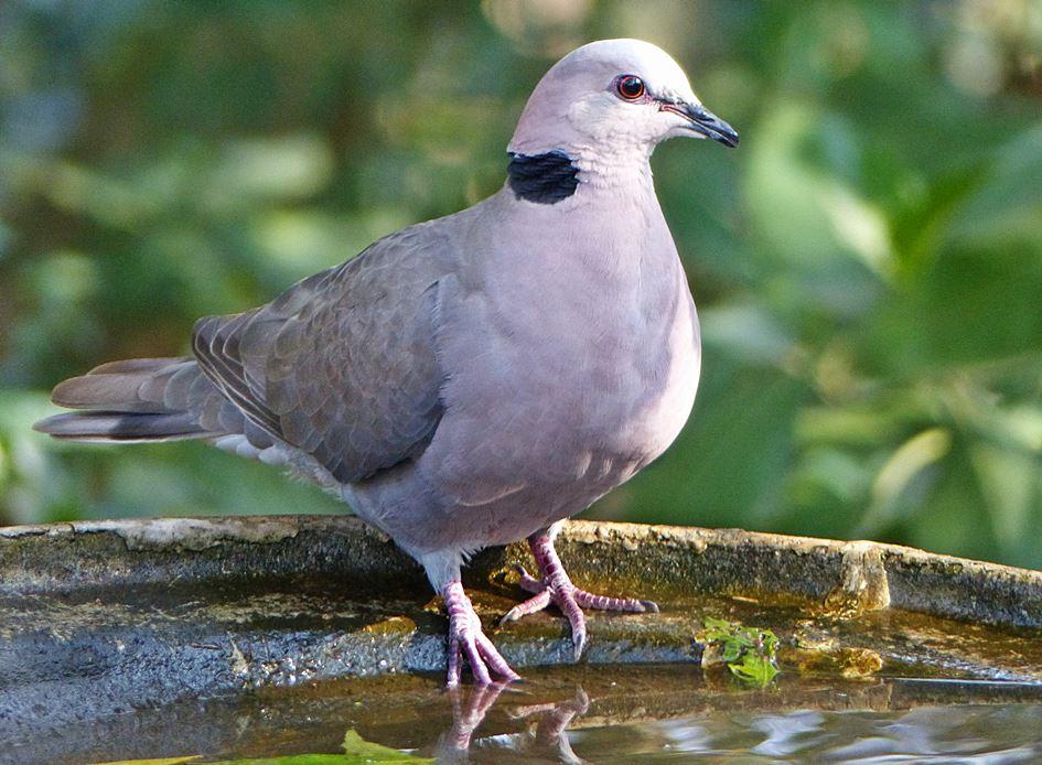 Redeyed dove at garden bird bath