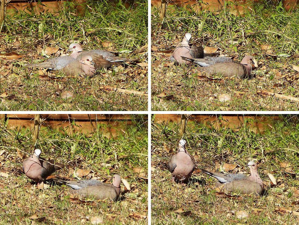 Palomas Redeyed, palomas de la tortuga, monogamia y sacrificio - dejando la naturaleza de nuevo en