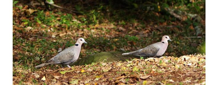 redeyed-dove-pair-suburban-garden