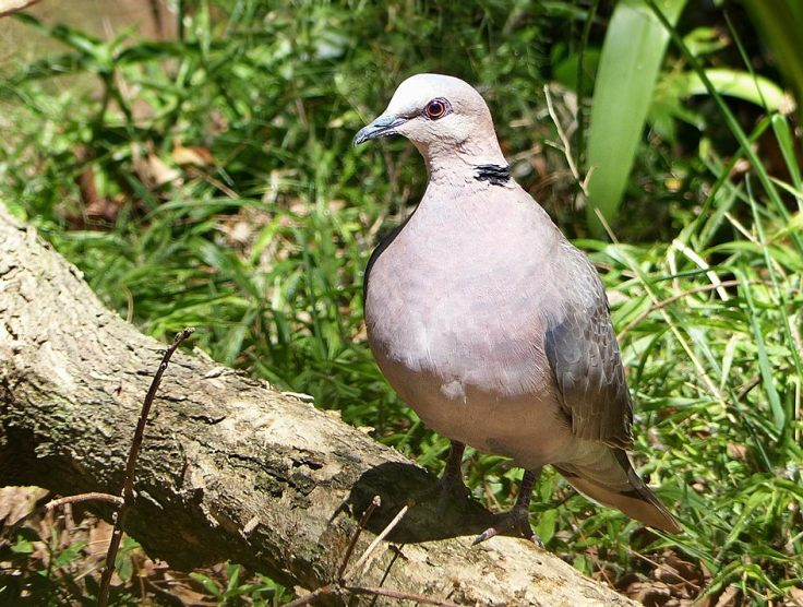 redeyed-dove-suburban-garden-south-africa