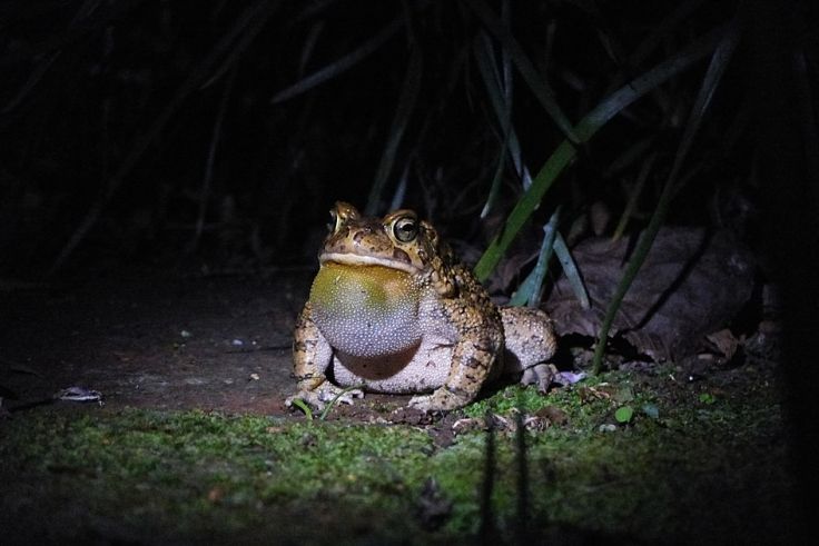 Toad calling at night in wildlife garden