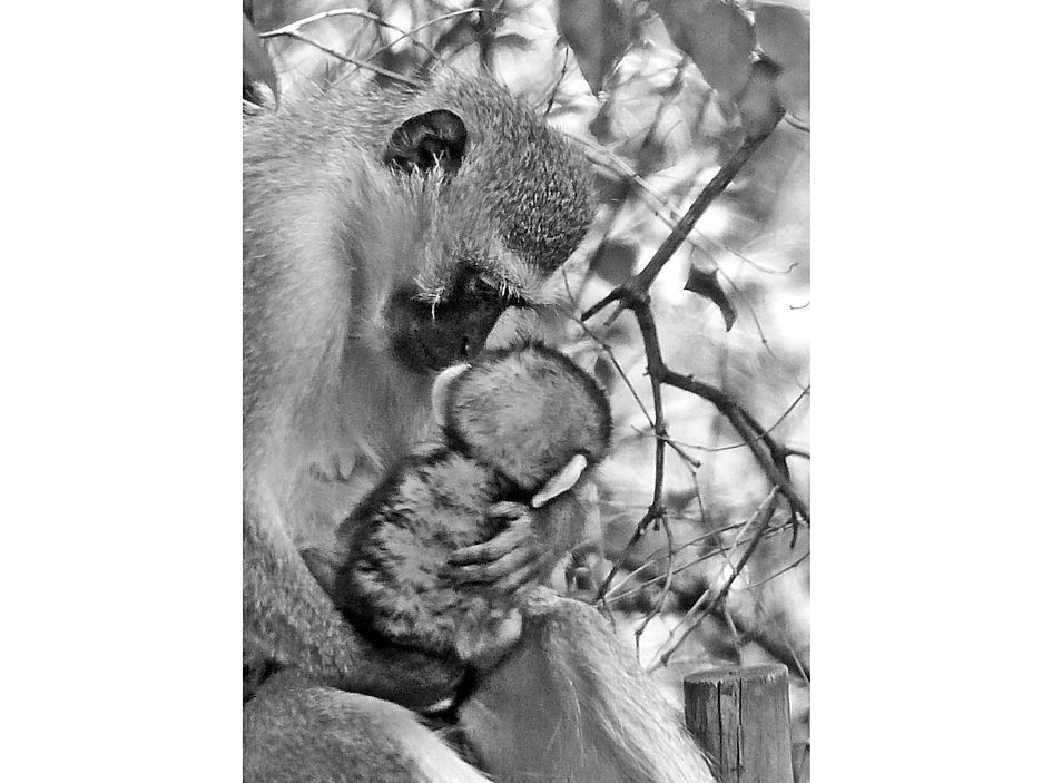 Vervet monkey mother and baby in garden maternal bond